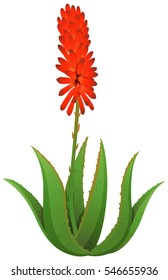 Aloe vera with red flowers illustration