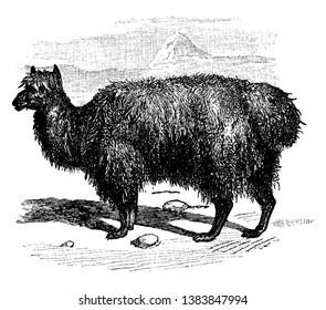 Alpacais a domesticated species of South American camelid, vintage line drawing or engraving illustration.