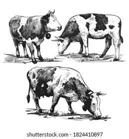 Alpine cows graze set hand drawn in a graphic style. Vintage vector engraving illustration for poster, web, packaging, branding, flyer, print. Isolated on white background