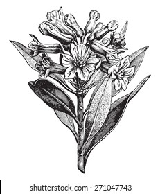 Alpine Rose, vintage engraved illustration. La Vie dans la nature, 1890.