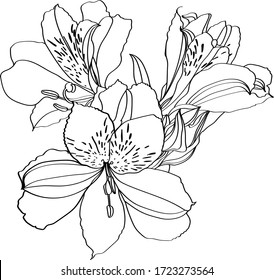 Alstroemeria vector illustration. Black and white floral vector illustration of a alstroemeria
