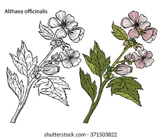 Althaea officinalis. Marsh-mallow, marsh mallow, or common marshmallow.