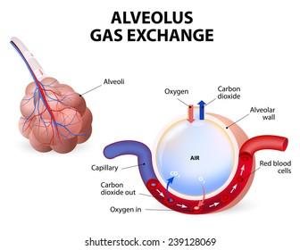 Alveolus. gas exchange. Pulmonary alveolus. alveoli and capillaries in the lungs.