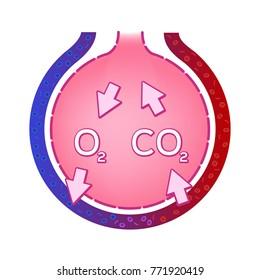 Alveolus in lung. gas exchange vector . anatomy concept