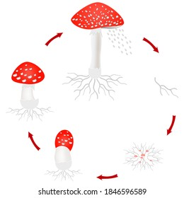 Amanita mushroom growth cycle isolated on white background.