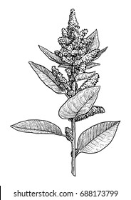 Amaranth illustration, drawing, engraving, ink, line art, vec