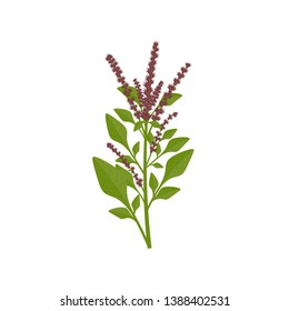 Amaranth paniculate or red amaranth Chinese spinach vector drawing