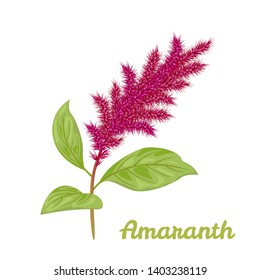 Amaranth plant isolated on white background. Vector illustration of blooming amaranth sprigs with green leaves in cartoon simple flat style.