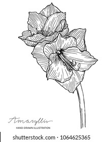 Amaryllis flower hand drawn ink illustration. Vector black and white drawing