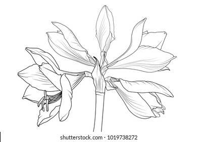 Amaryllis hippeastrum lilly flower isolated black and white outline sketch drawing. Spring floral bouquet foliage element. Vector design illustration. Line style.
