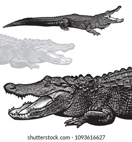 American alligator (Alligator mississippiensis) - vector graphic illustration. Black image of crocodilian reptile in engraving style isolated on white background, design element for logo or template.