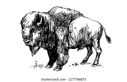 American bison, buffalo. Hand drawn illustration.