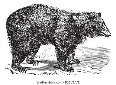 American Black bear (Ursus americanus), vintage engraved illustration.  Trousset encyclopedia (1886 - 1891).