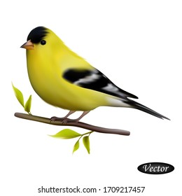 American Goldfinch isolated on a white background. Realistic goldfinch. Vector illustration 3D. Beautiful natural bird. Macro icon yellow bird on branch. Design for paper, banner, t-shirt, logo, print