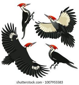 American pileated woodpeckers are sitting and flying on white background in cartoon style