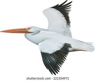 American White Pelican, isolated on white background