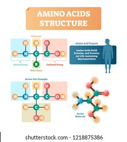 Amino acids structure vector illustration. Labeled example of Serine molecule diagram. Closeup with hydrogen, side chain and carboxyl group. Protein builders that are life sustaining macronutrients.