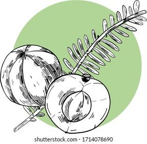 Amla isolated vector illustration. Phyllanthus emblica vector design elements. Indian gooseberry vector sketch