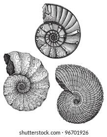 Ammonites - fossil shell (Triassic period) / Vintage illustration from Meyers Konversations-Lexikon 1897