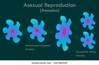 Amoeba division stages. Asexual reproductive. Nucleus and cytoplasm divided. Genetically similar, doughter amoeba. Biological drawing. Transparent vector illustration.