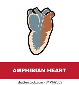 amphibian heart anatomy vector illustration