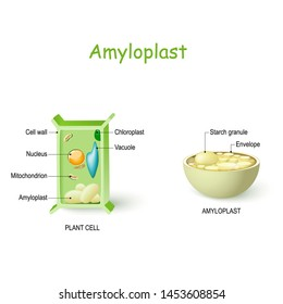 Amyloplast is a type of plastid in plant cells that  store and synthesize starch from glucose. Plant cell anatomy and cross-section of Amyloplast. Vector diagram for educationall and science use