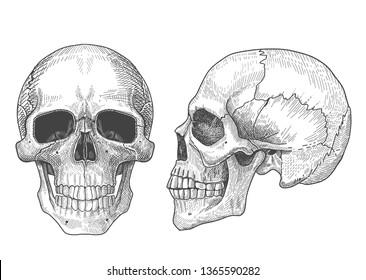 Anatomic full face skull and human skull in profile. Hand drawn illustration of anatomy .