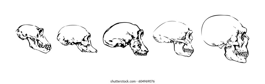 Anatomic Skull Vector Art. Detailed hand-drawn illustration of skull. Evolution of the skull from Neanderthal to Homo sapiens.