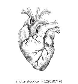Anatomical heart black and white illustration