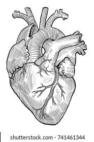 anatomical heart hand drawn vector