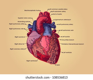 Diagram Of The Human Heart Images Stock Photos Vectors