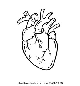 Anatomical heart line art illustration. Vector simple heart sign.