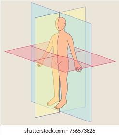 Anatomical Planes, Human Body Planes