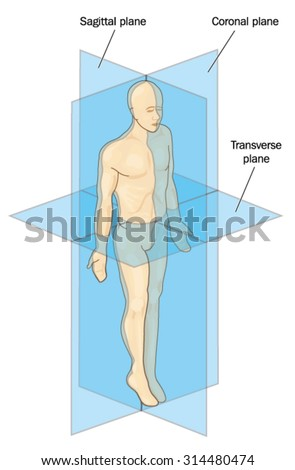 Anatomical Planes Section Showing Sagittal Coronal Stock Vector