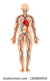 Anatomical structure of human body, presented detail of circulatory system, blood arteries, veins, bloodstream. Structure human cardiovascular, circulation sanguine venous system. Vector illustration.