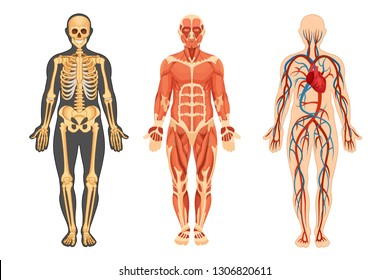 Anatomical structure of the human body, skeleton, muscular system and system of blood vessels with arteries, veins, front view. Detailed human system in full growth. Vector illustration.