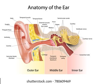 The anatomical structure of the human ear
