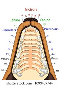 Anatomical structure of the upper jaw of the dog, the location and the name of the teeth vector
