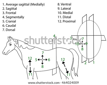 Anatomical Terms Direction Planes Section Medical Stock Vector