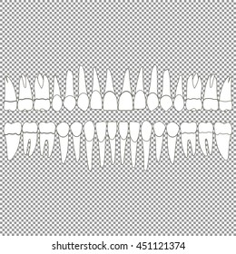 An anatomically correct dentition upper and lower jaw chart. Set of teeth crown and root of the incisor, canine, premolar, and molar tooth. Vector illustration for print or design dental website.