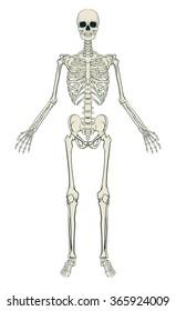 An anatomically correct medical educational illustration of a human skeleton
