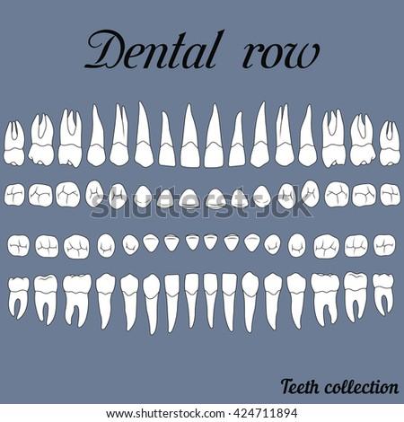 Anatomically Correct Teeth Incisor Cuspid Premolar Stock Vector