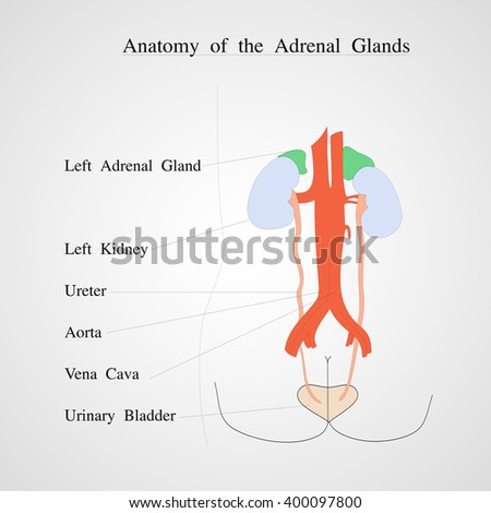 Anatomy Adrenal Gland Kidney Renal Vein Stock Vector Royalty Free