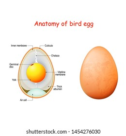 Anatomy of bird egg. Schematic of a chicken egg. Vector diagram for educational, biological and science use