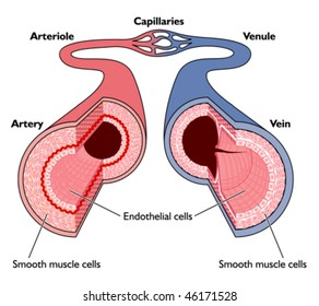 Veins And Arteries Images, Stock Photos & Vectors | Shutterstock