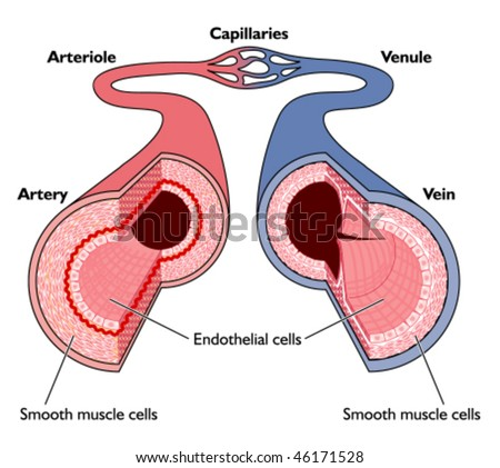 Anatomy Blood Vessels Artery Through Capillaries Stock Vector ...