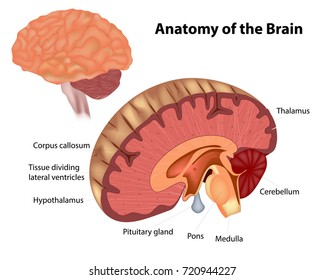 The anatomy of the brain. A diagram showing various structures within the human brain
