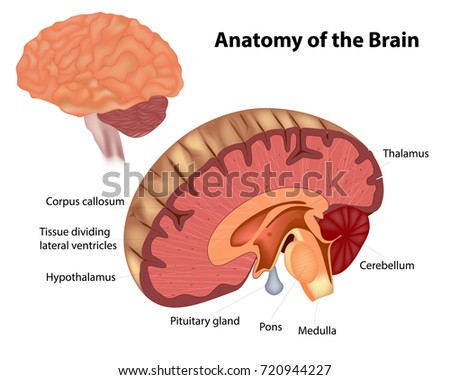 Anatomy Brain Diagram Showing Various Structures Stock Vector