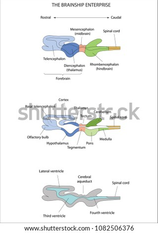 Anatomy Central Nervous System Formation Human Stock Vector Royalty