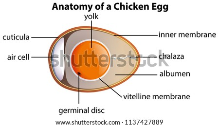 Anatomy Chicken Egg Illustration Stock Vector (Royalty Free ...
